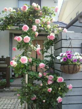 ダーリンの薔薇